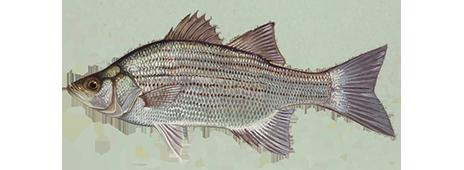 white-bass-464x170